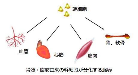 幹細胞の分化